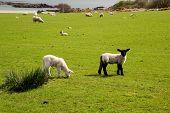 Islay lambs