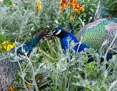 image of peahen  - Pacock and peahen courting in the colorful flowerbed - JPG