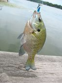 stock photo of bluegill  - A little bluegill hooked on a fishing lure. ** Note: Slight graininess, best at smaller sizes - JPG
