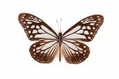 Brown And White Butterfly Parantica Sita Isolated On White Background