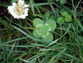 Lucky 4 Leaf Clover 07