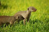 Young mongoose