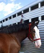 image of clydesdale  - A Clydesdale horse stands next to his trailer - JPG
