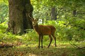 Red Deer Stag During in forest