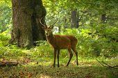 Ciervo macho durante en el bosque