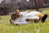 Sportive And Rollicking Domesticated Cat Who Is Lying In Grass. Bored Feline Rests On The Garde And  poster