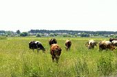 Cows Standing In Farm Pasture. Shot Of A Herd Of Cattle On A Dairy Farm. Nature, Farm, Animals Conce poster