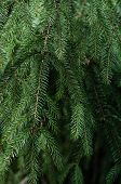 Fir Branches. Close-up Of Fresh Green Fir Branches Background. poster