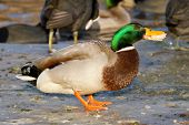 A Mallard Is Eating Bread