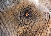 Elephant eye detail
