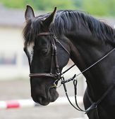 Unknown Contestant Rides At Dressage Horse Event In Riding Ground. Head Shot Closeup Of A Dressage H poster
