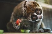 Slow Loris Monkey. Laurie, The Little Monkey, With The Big Round Eyes With The Surprise Emotion On H poster