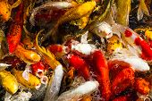 Hungry Koi Carps Fish Japanese Swimming (cyprinus Carpio) Beautiful Color poster