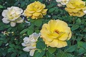 Yellow Roses. Blooming Yellow Roses In The City Garden. Yellow Roses On A Background Of Green Leaves poster