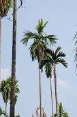 Betel Palm