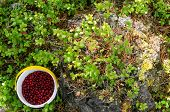 A Bucket Half-filled With Red Wild Berry Cranberries Stands Near The Bushes Of Berries On The Floor  poster