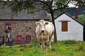 Kuh und Bauernhof
