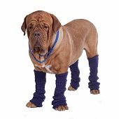 Dog with beads and leg warmers isolated