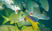 stock photo of hogfish  - Grunts opening there mouths for a Spanish Hogfish