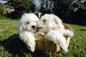 Bichon Puppies Two