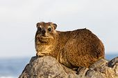 Hyrax Sitting On A Rock