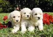 Poodle Brothers