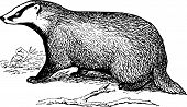 European Badger cub