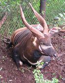 Bongo From Congo