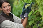 Woman picking grapes in a vineyard