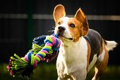 Beagle Dog Runs In Garden Towards The Camera With Colorful Toy. poster