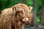 Portrait Of Scottish Highland Cow (hairy Coo) With Its Long Fur poster