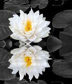 Lotus Beauty Reflection
