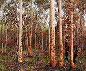 Australian Eucalyptus Gumtree Forest After Bushfire