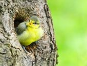 Cute birdie in the nest.The Blue Tit (Cyanistes caeruleus). Picture with shallow DOF.