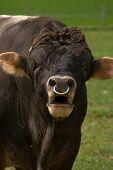 Dangerous looking Bull