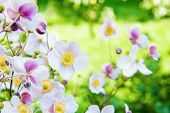 Beautiful Flowers In The Garden. Anemone Japonica