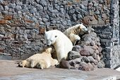White polar she-bear with bear cubs