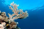 Acropora Coral Near The Surface