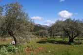 Olive grove near Marbella, Andalusia, Spain.