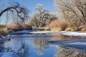 partially frozen Cache la Poudre River in Fort Collins, Colorado framed with cottonwood trees