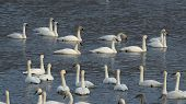stock photo of trumpeter swan  - A Large group of swans swimming in a river - JPG