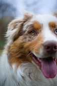 Australian Shepherd Closeup Face