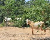 stock photo of choctaw  - These wild spanish mustangs are Choctaw Indian Ponies - JPG