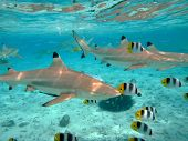stock photo of butterfly fish  - A blacktip reef shark chasing butterfly fish in the shallow clear water of the lagoon of Bora Bora an island in the Tahiti archipelago French Polynesia - JPG