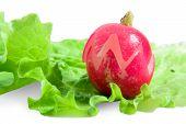 Radish With Lettuce