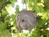 picture of hornet  - The large Bald-faced Hornet