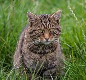 picture of wildcat  - Scottish Wildcat sitting in grass on sunny day - JPG