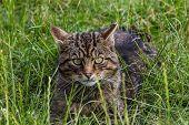 stock photo of wildcat  - Scottish Wildcat sitting in grass on sunny day - JPG