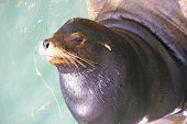 Portrait, California Sea Lion, On Wharf