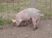 Muddy Pig's Feet